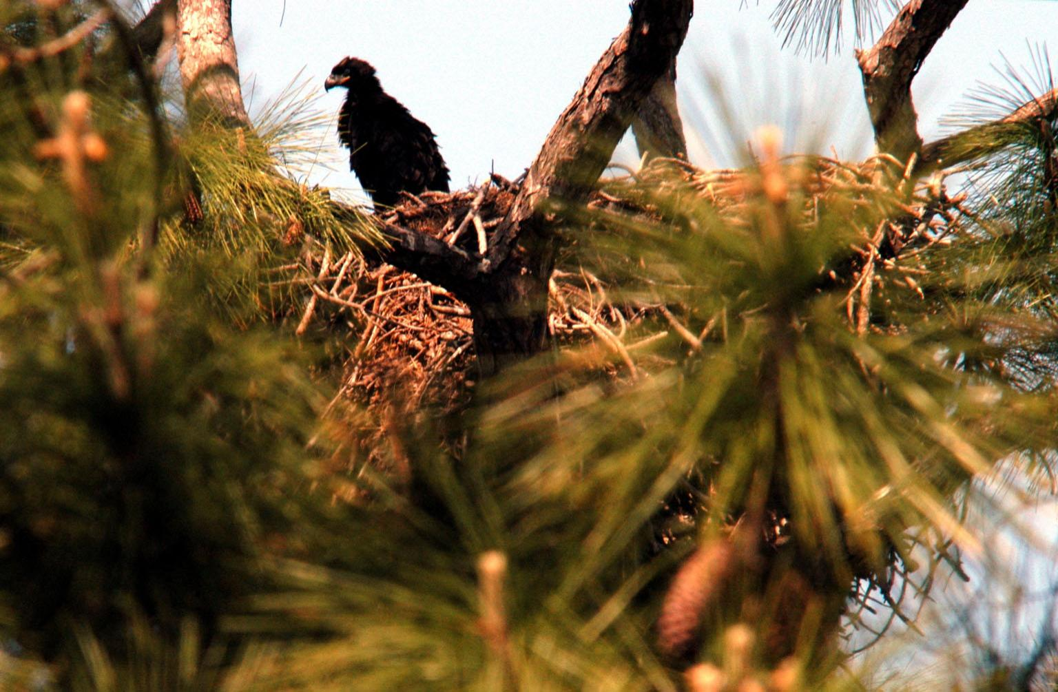 KENNEDY SPACE CENTER, FLA. -- On Kennedy Parkway, which runs through KSC, a young bald eagle is spotted perched on the side of its nest. The nest is one of 12 active nests throughout the Merritt Island National Wildlife Refuge, which shares a boundary with KSC. Young birds lack the typical white head, which they gain after several years. Nests are masses of sticks usually in the top of a tall tree. Their habitat is near lakes, rivers, marshes and seacoasts.